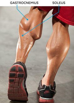 calf-anatomy