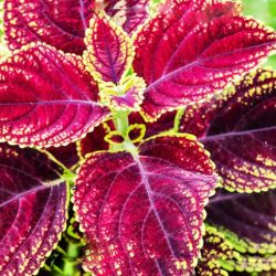 Forskolin: A Popular Performance Supplement
