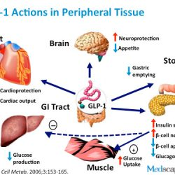 GLP-1: An Alternative Treatment For Obesity
