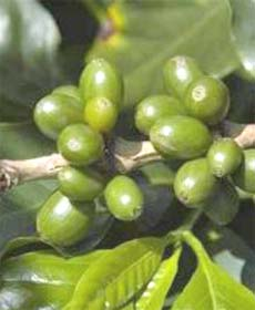 Green coffee beans New weight loss drug: A study