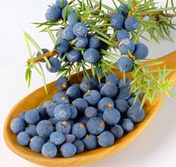 Juniper berries (fruits): useful properties
