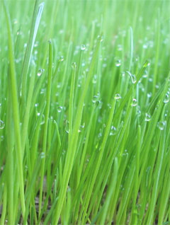 Barley Grass: A complete super food