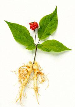 Ginseng a mystical herb