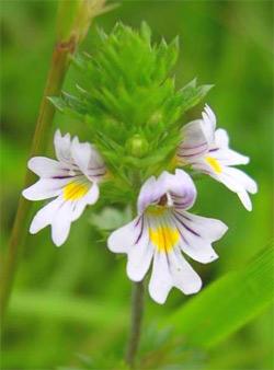 Herbs for Optimum Eye Health