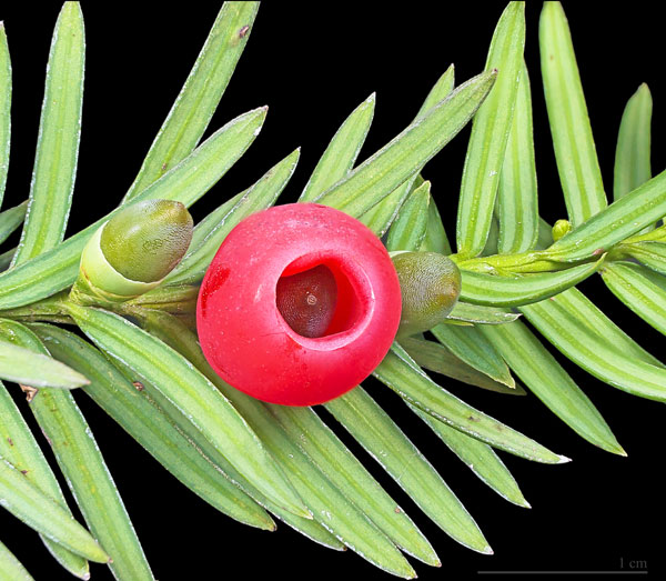Herbal Management of Breast Cancer
