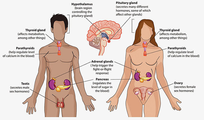The Amazing Human Body All About the Two Major Types of Glands