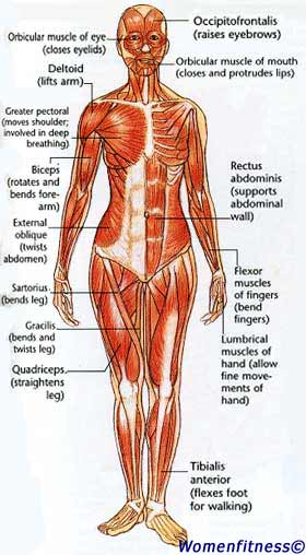 women fitness: strength training muscle map, Muscles