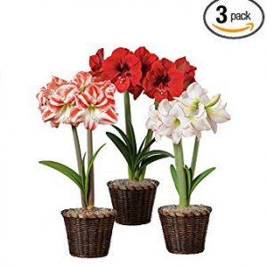Hallmark Flowers Amaryllis Bulbs