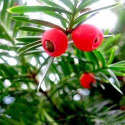 Yew Berries – Top 10 Most Dangerous Fruits and Vegetables in the World
