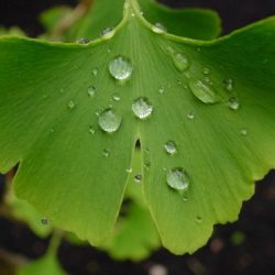 Ginkgo: World Best Selling Multi-Beneficial Herb