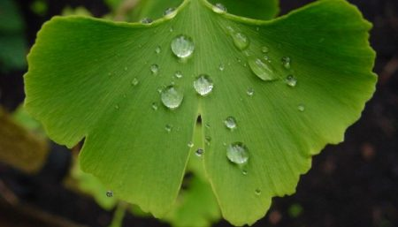 Ginkgo multi-beneficial herb