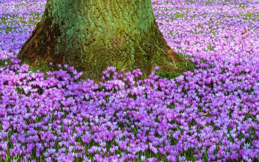 Primrose tree