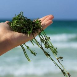 Treating arthritis with algae