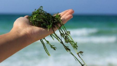 Treating arthritis with algae