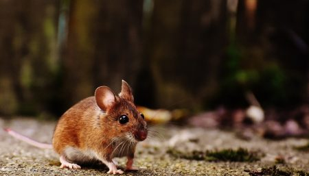 hormone irisin triggers bone remodeling in mice